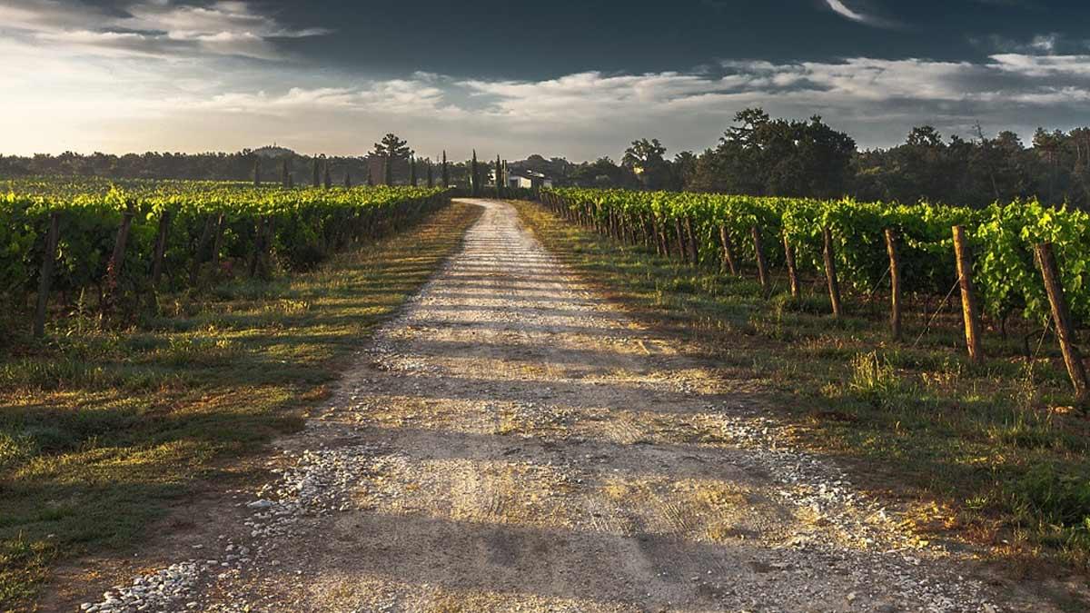 Les clés du vin : Connaître les cépages : le viognier